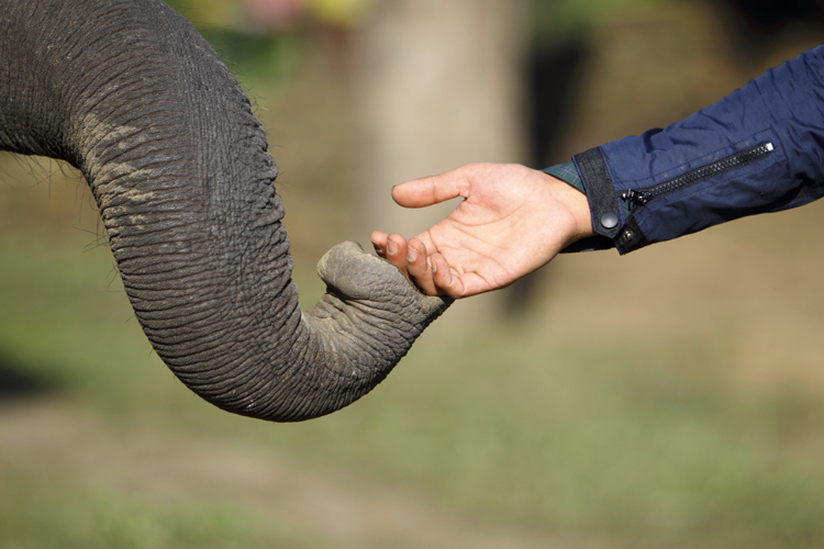 An elephant's trunk touches a visitor's hand in search of food at Sauraha in Chitwan