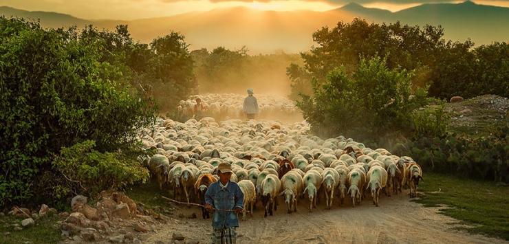 sheep03